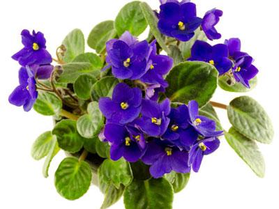 african_violet_2
