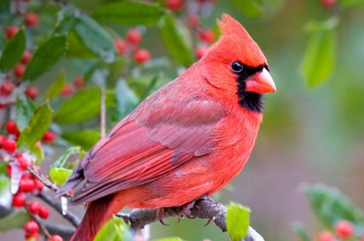 birding_basics_northern_cardinals.jpg