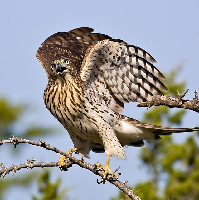 Coopers Hawk Bird.jpg
