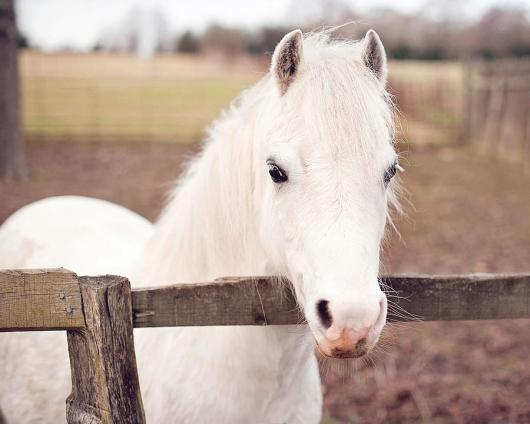 pretty-white-pony-looking-over-fence-sharon-vos-arnold